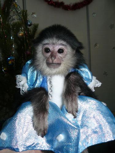 картинки обезьяна нарядная